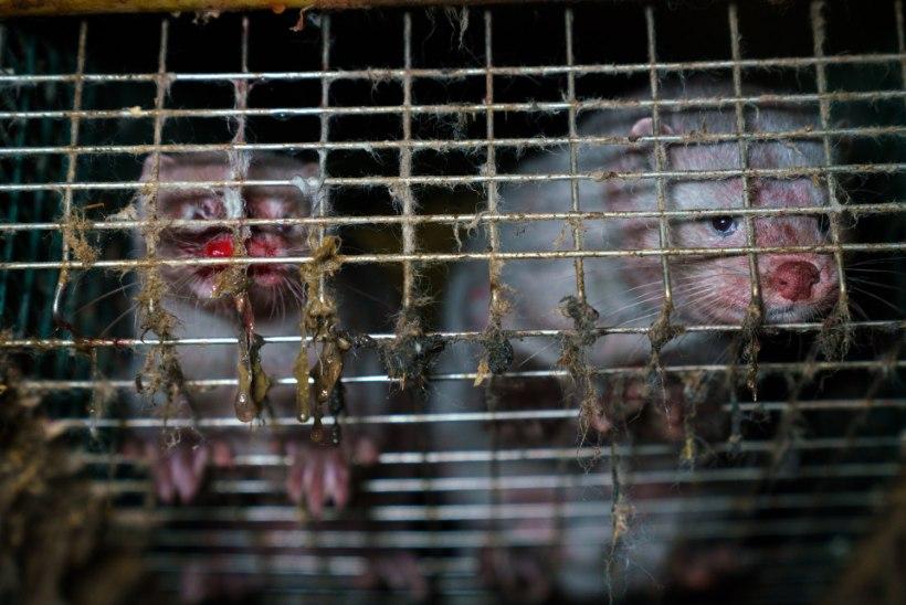 Karusnahatööstuse kurvad telgitagused: video paljastab kannibalismi Soome karusloomafarmides