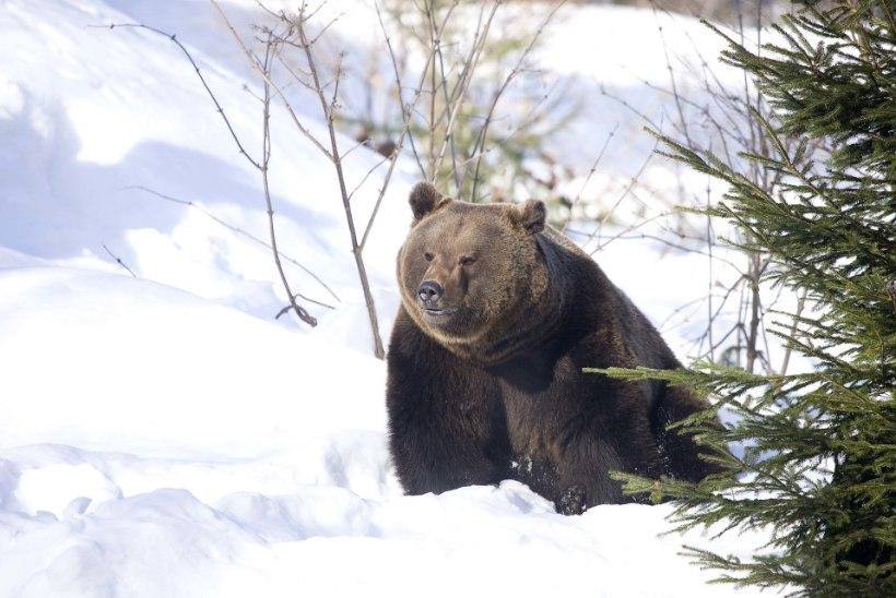 Karu keerab kuusikusse, konn otsib keldrit