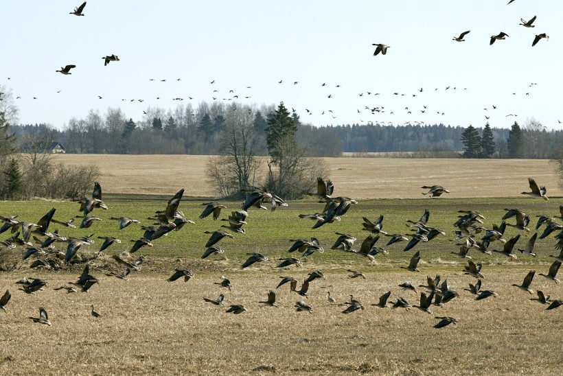 Maaelukomisjon tahab põllumeestele anda võimaluse pidada jahti rändlindudele