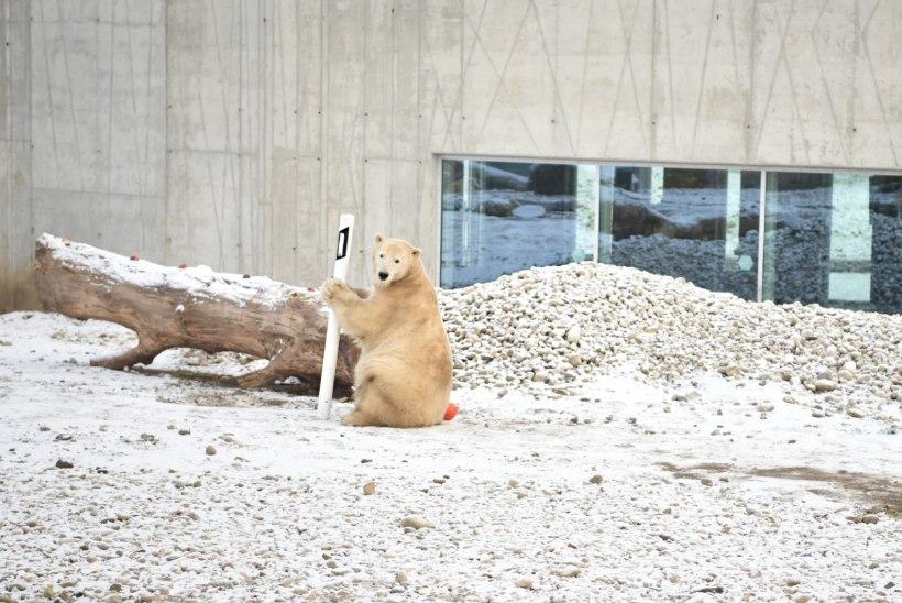 VIDEO ja FOTOD | Jääkarupoiss Aron pidas sünnipäeva