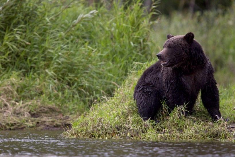 TRAGÖÖDIA: karu tappis ema ja lapse