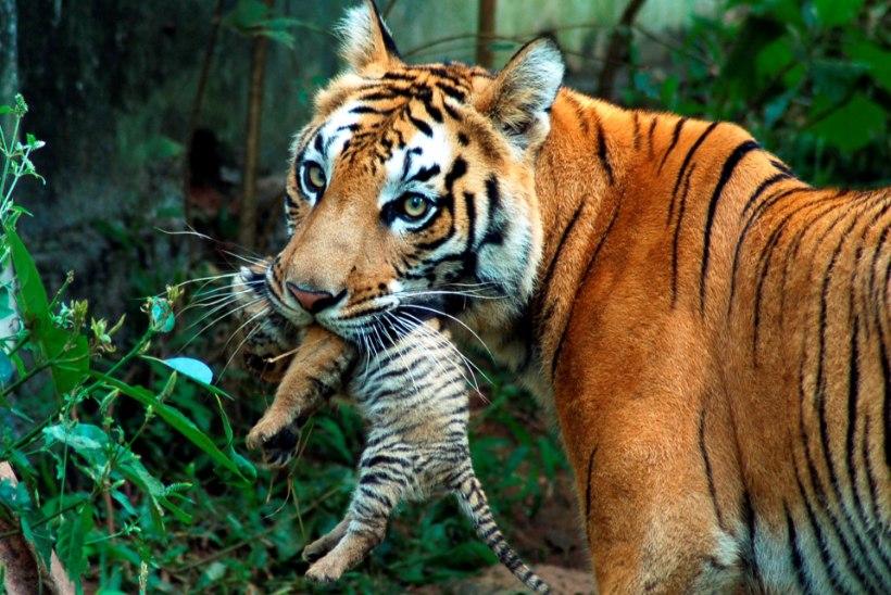 Тигрицу догнали и задавили трактором за убийство человека