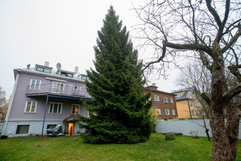 FOTOD   Eesti tähtsaim jõulukuusk viimast päeva kodus: oleme õnnelikud, et puu saab auväärse lõpu!