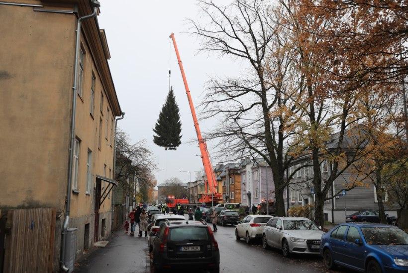 ÕL VIDEO JA FOTOD | Pealinna jõulupuu endine omanik: kurb on, aga ta hakkas juba majale peale vajuma