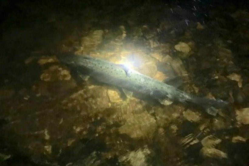 Kalavalvur Kiisler kutsub inimesi Kalastajate Seltsile appi