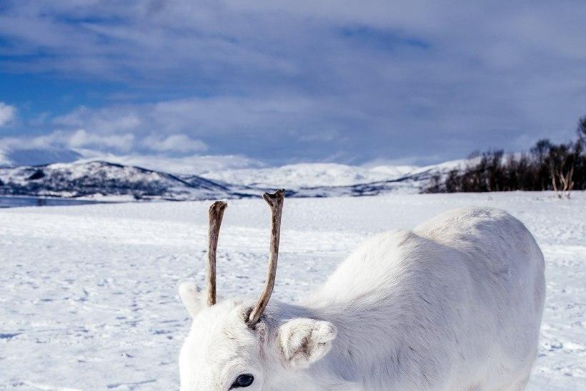 IMELINE TABAMUS! Fotograaf pildistas lumivalget põhjapõdravasikat