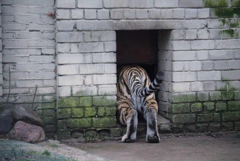VIDEO JA FOTOD | Amuuri tiiger Pootsman alustas sõitu Tšehhi loomaaeda