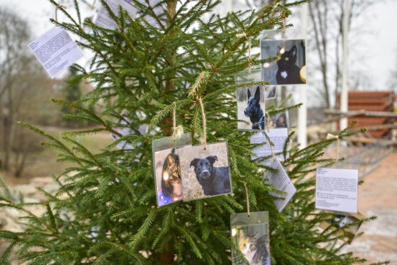 GALERII | Viljandi jõulukuusk aitab varjupaigaloomadele kodu otsida