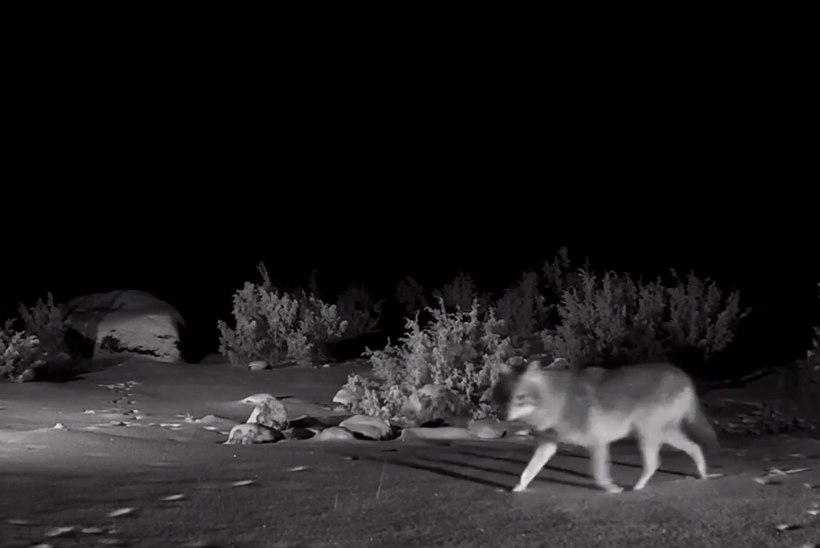 VIDEO | Šaakalikaamera ette jäi seekord hunt