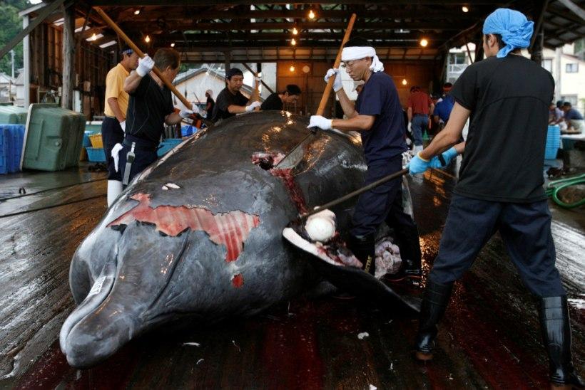 Jaapan teatas vaalade kommertspüügi jätkamisest