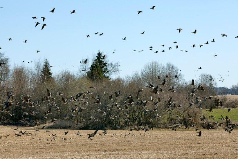 Keskkonnaministeerium nõustub: Eestis on rändlindude heidutusjaht põhjendatud