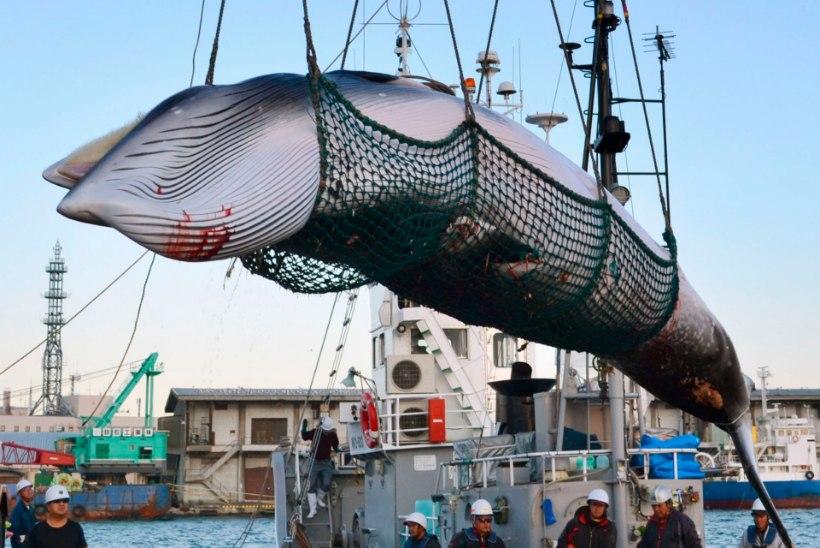 Bioloog: vaalalised on väljasuremise kursil, seda enam on kommertspüügi otsus kummastav