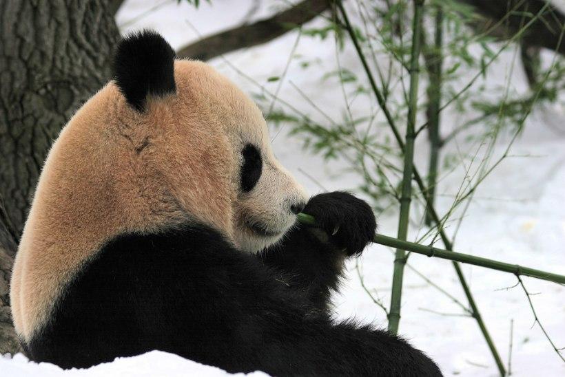LUMEPIDU: vahva panda möllab lumes