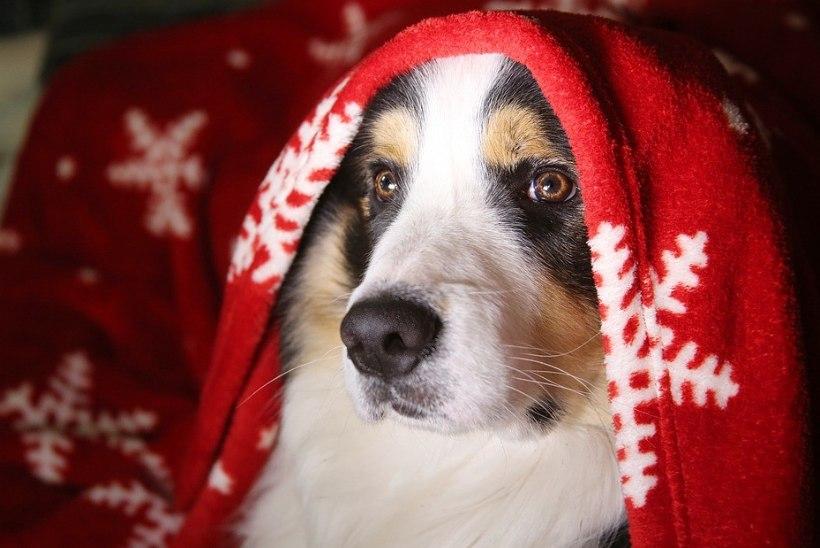 Mida teha, kui raketipaugud hirmutavad koera?