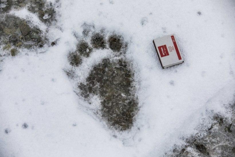 FOTOD   Unine karuema ja tema kolm poega otsisid Raplas öömaja