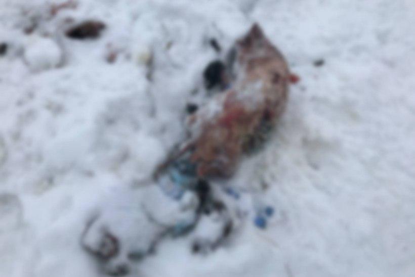 KOHUTAV: metsas jalutanud naine leidis kotti topitud kolme koera laibad