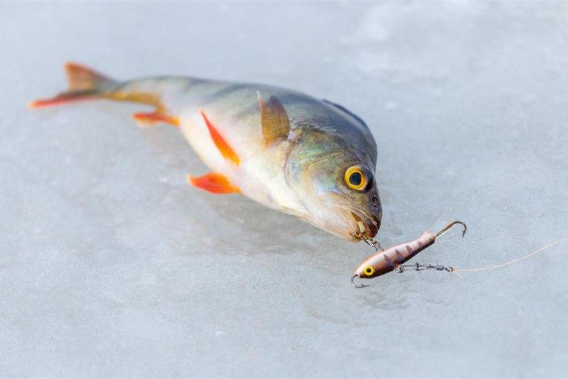 REPORTAAŽ JÄRVELT | Peipsi kalamehed kurdavad, et tänavu suurem kala ei näkka