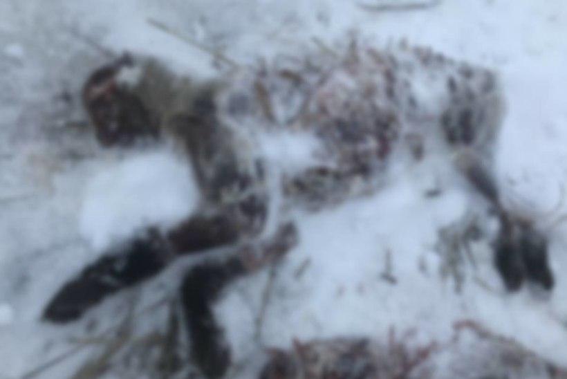 Kohtla-Järve kardiraja kõrval lebasid nelja nülitud looma korjused