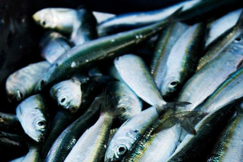 Läänemere kilu saab kitsastel aegadel paremini hakkama kui räim
