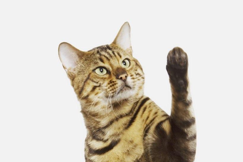 Sinu kass võib olla vasakukäpaline!