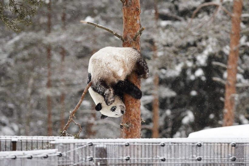 VIDEO JA FOTOD   Oh seda rõõmu! Viimaks õue pääsenud Soome pandad hullasid lumes