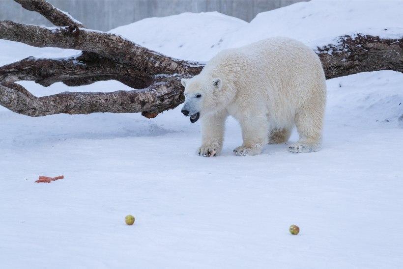 ÕL VIDEO JA GALERII | Tallinna jääkarud lustisid rahvusvahelisel jääkarupäeval