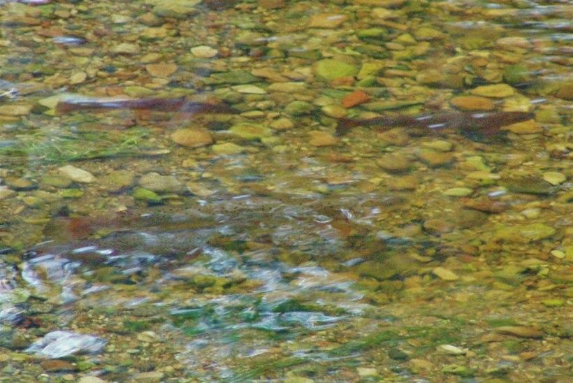 Loode-Eesti jõgedes paranevad kalade elutingimused