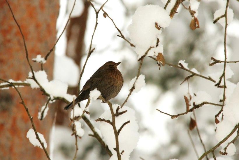 Eesti metsloomaühing palub: praeguse pakasega pange lindude toidulauad head ja paremat täis!