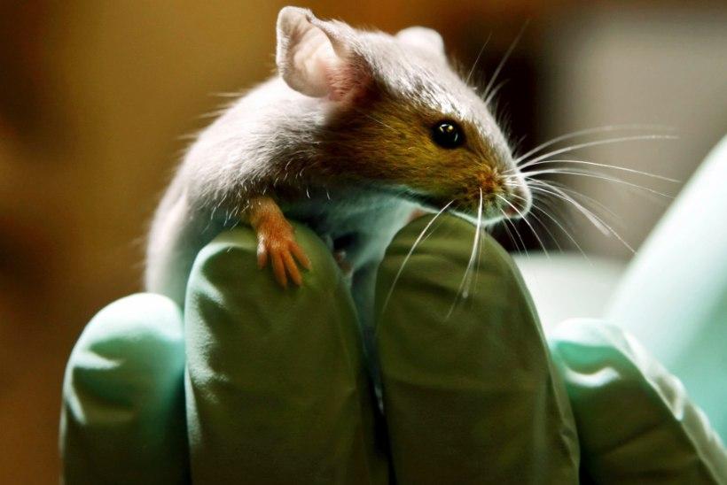 Vähiravim parandas autistlike hiirte käitumist
