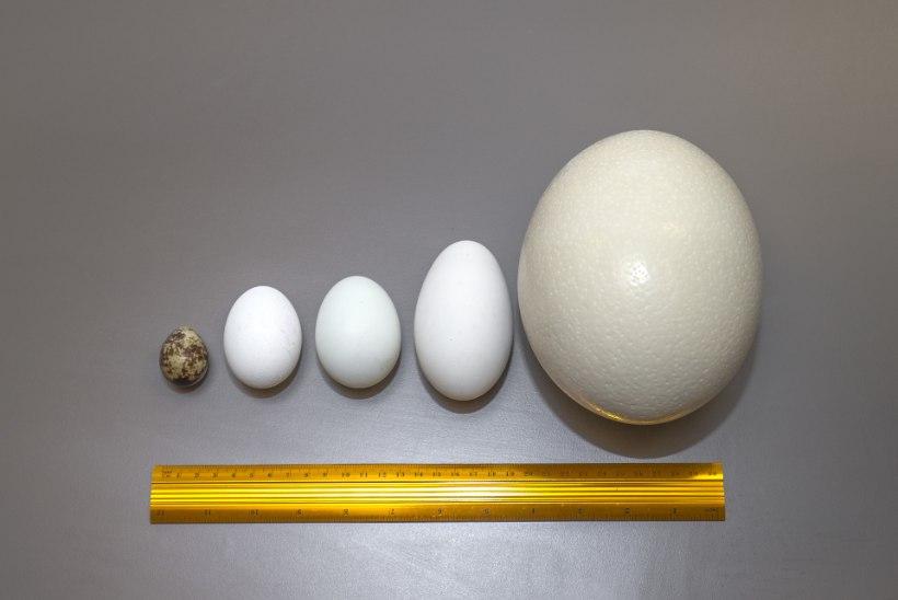 ÕHTULEHE VIDEOKATSE   Matk munamaailma: mis vahe on jaanalinnu, hane, pardi, kana ja vuti munadel?