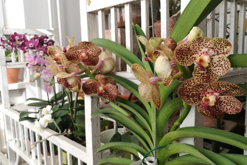MILLINE ÕITEILU! Vaata kauneid fotosid näitleja Taavi Teplenkovi orhideekogust!