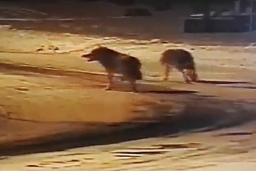 VIDEOKAADRID   Hundid laiasid Pürksi küla peatänaval ja puresid koera