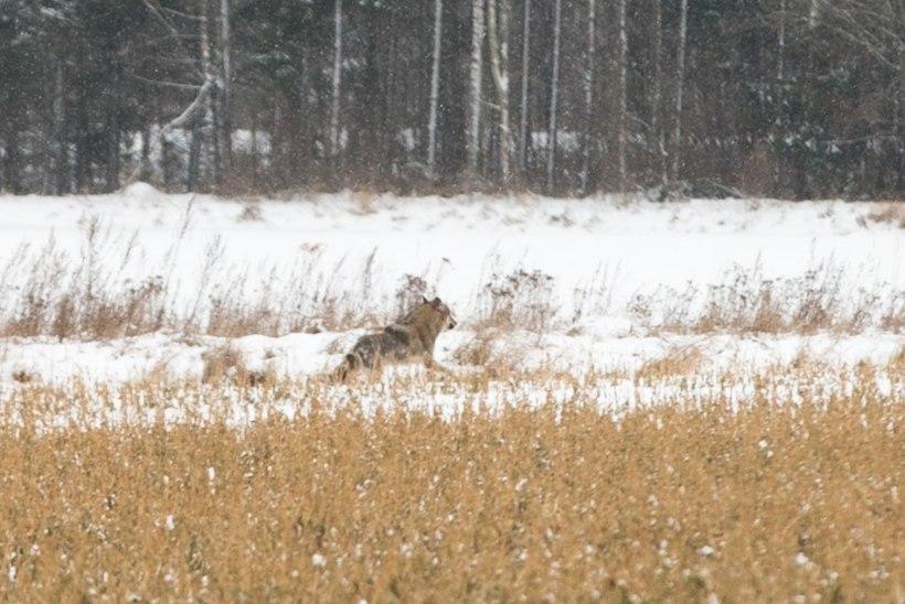 Keskkonnaamet andis väljaspool jahiaega loa kolme hundi küttimiseks Lääne- ja Pärnumaal