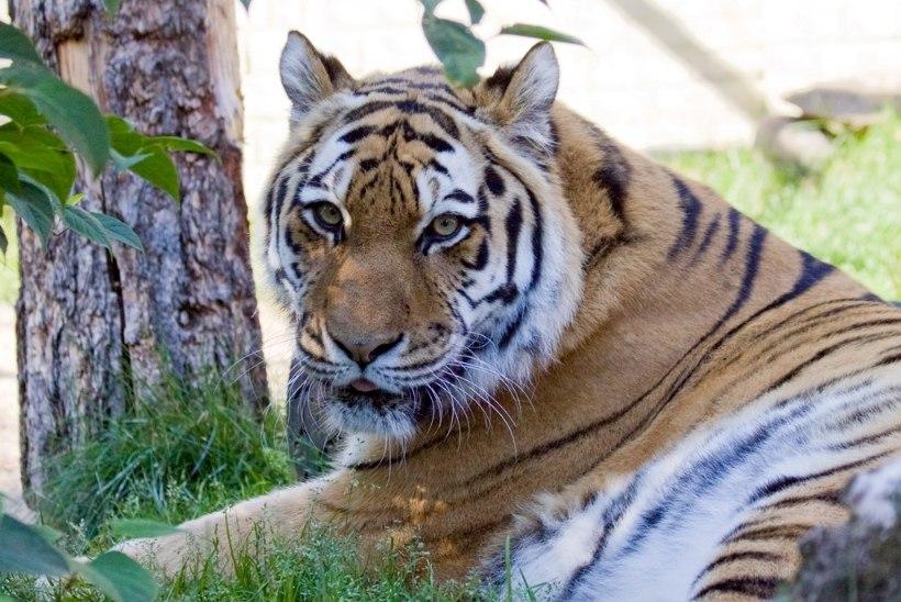 HOOLDAJA MEENUTAB: tiiger Piiga oli väga hea loom