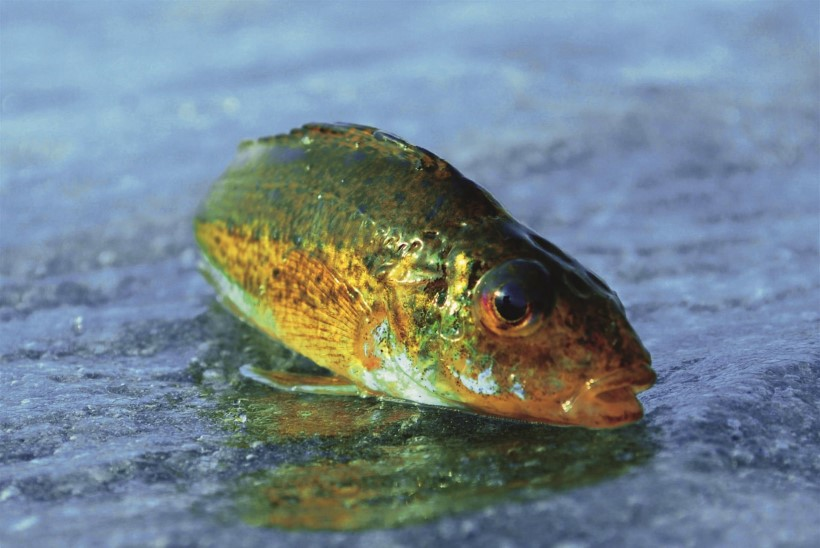 Kiisamarja muffinid ehk elupõlist kalameest on võimalik üllatada küll