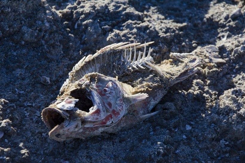 Tähelepanu, paleodieedi fännid! Kiviajal söödi kõvasti kala