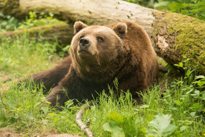 VIDEO | Vanaema päästis lapselapse karu käest