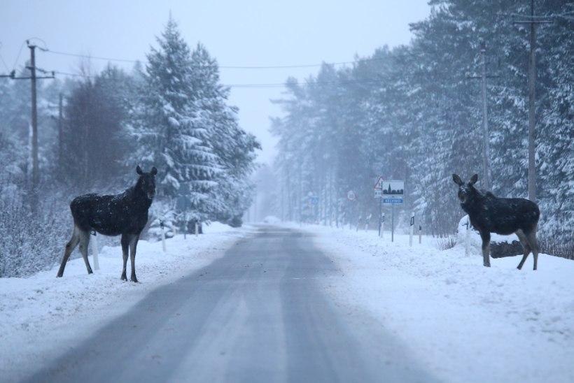 GALERII: Metsamuinasjutt põdrapaariga lumesajus