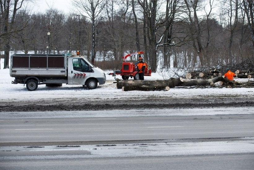 Osad Reidi tee pärast maha võetud puud lähevad loomaaia elanikele turnimispuudeks