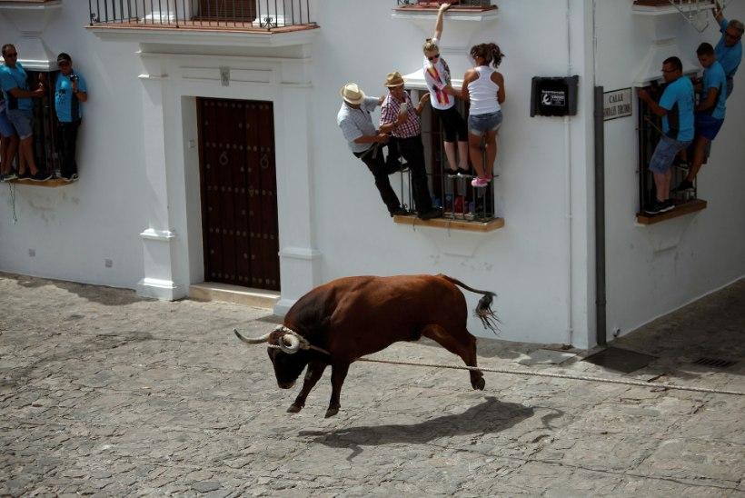 Iga-aastasel härjajooksul Andaluusias hukkus üks osaleja