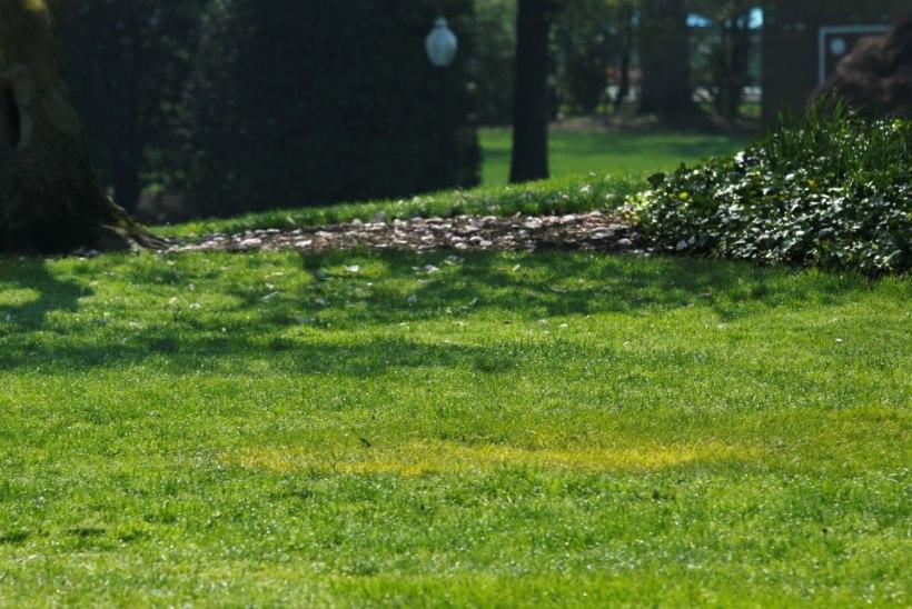 PILTUUDIS | Macroni ja Trumpi istutatud puu asemel laiub vaid kollakas murulapp