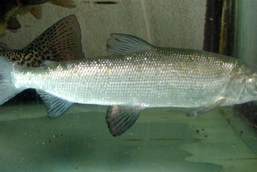 Kalakasvatuse kunst: kuidas siiakala marjast paljundatakse