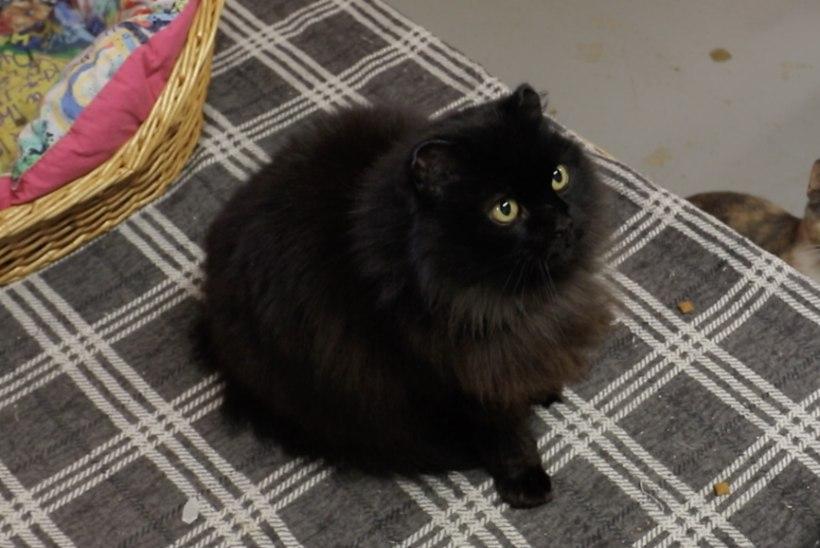 ÕL VIDEO | Koduotsija: laiskloom Kõrvik on varjupaiga kõige tšillim kass!