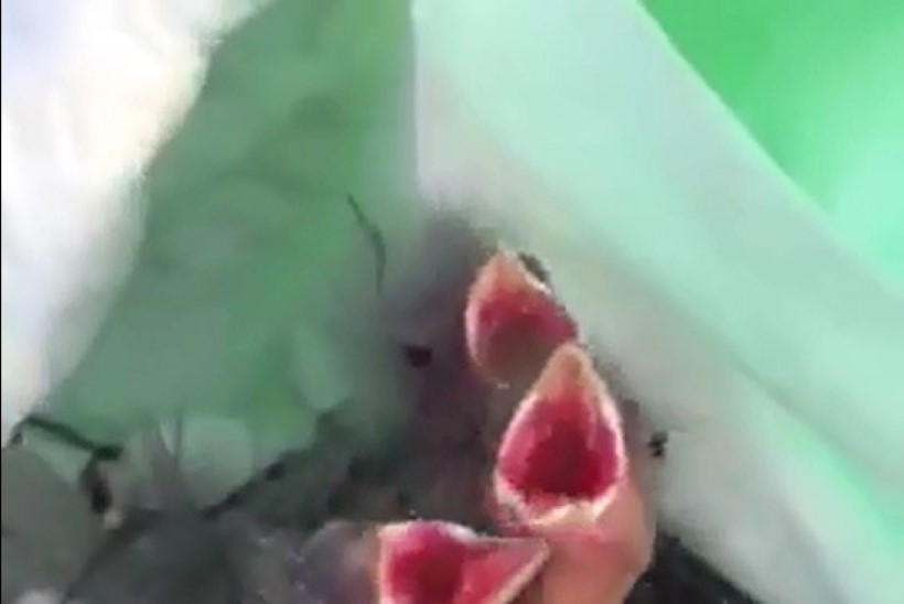 VIDEO | Puukoolist ostetud hekitaimedest leiti abitud linnupojad