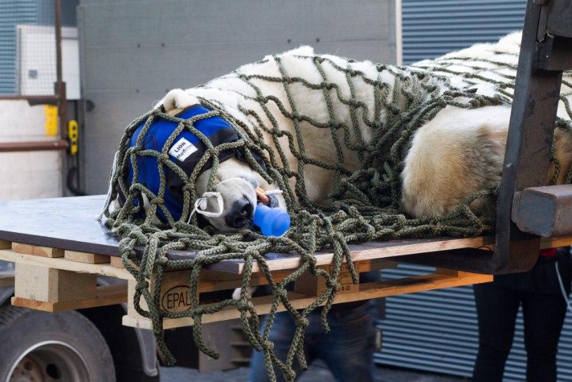 FOTOD   Tallinna loomaaia jääkaru Nord uinutati ja koliti uude polaariumisse