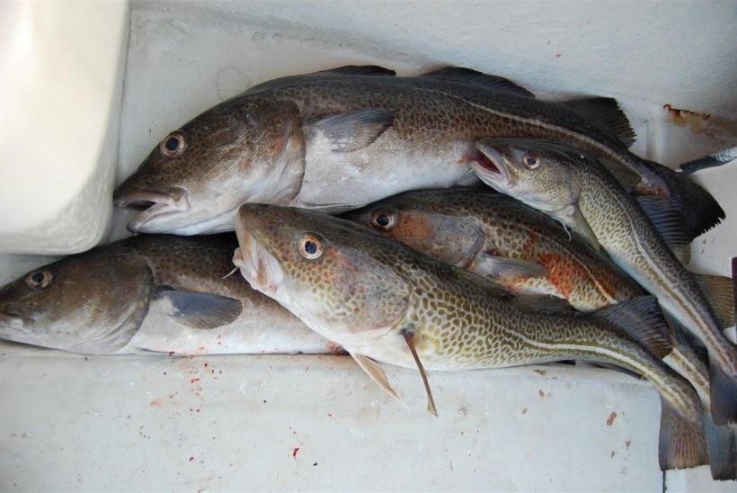 WWF-i hinnangul peab Läänemeres tursapüüki oluliselt kärpima