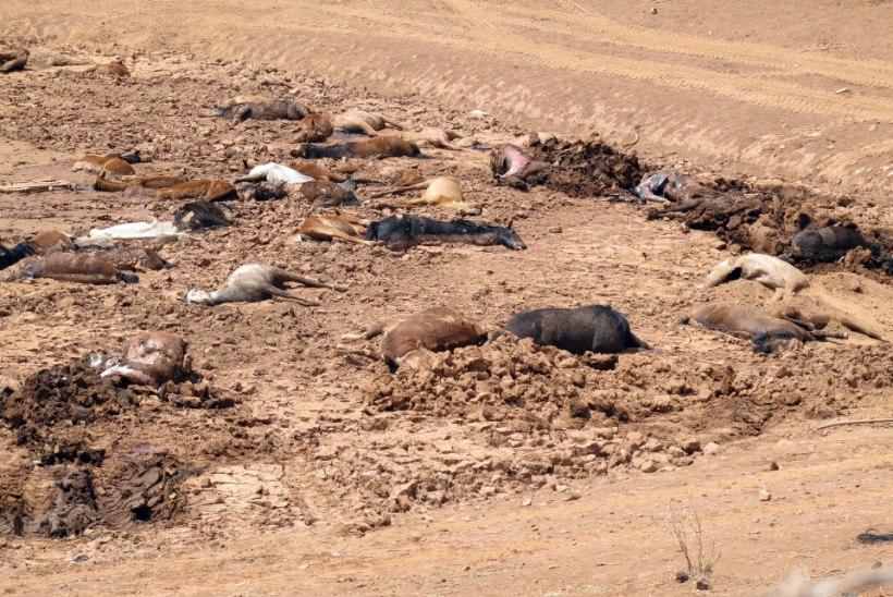 KOHUTAVALT KURB VAATEPILT: kohalikud leidsid Arizona kõrbes pea 200 surnud hobust