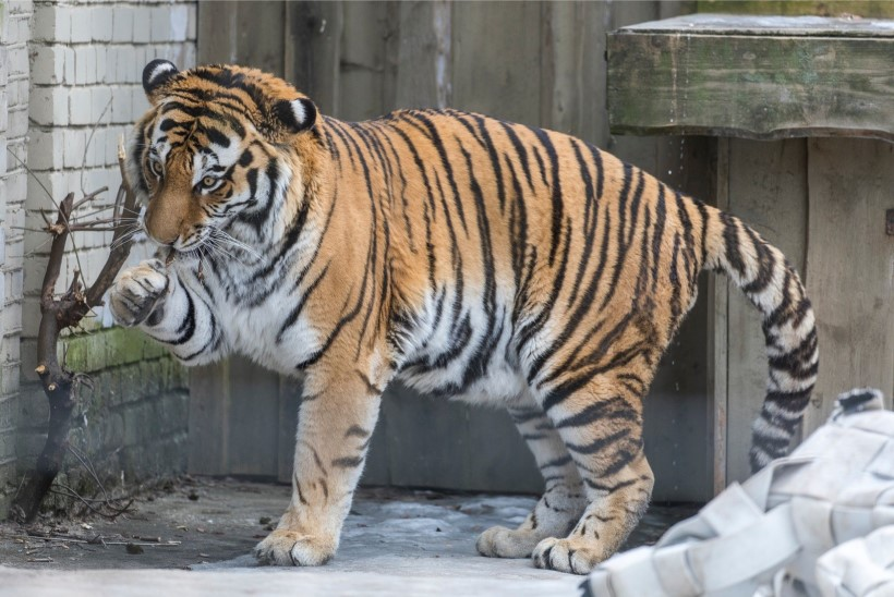 VIDEO JA FOTOD | Tiiger Pootsman tähistab loomaaias 7. sünnipäeva
