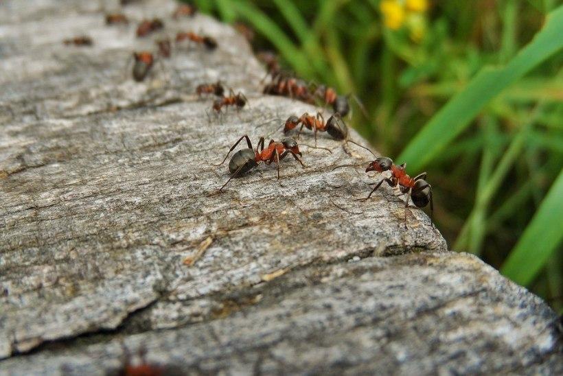 Appi, terrassil on sipelgad! Mida teha?