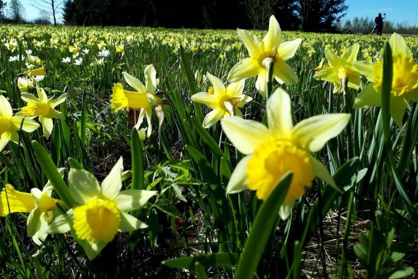 GALERII | Tartumaal püüab pilke looduslik kollaste nartsisside väli